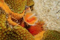 Red-spotted horseshoe worm Protula sp Royalty Free Stock Photo