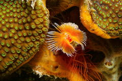 Red-spotted horseshoe worm underwater marine life Royalty Free Stock Image