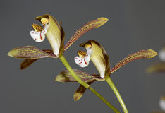 Red-Spotted Lip Cymbidium Orchid Stock Images
