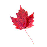 Red Spotted Maple Leaf Isolated on White Royalty Free Stock Photo