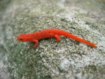 Red Spotted Newt Royalty Free Stock Image