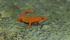 Red Spotted Newt Royalty Free Stock Images