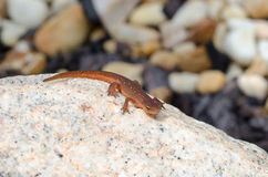 Red Spotted Newt Stock Images