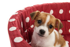 Red spotted pet bed with little puppy Stock Images