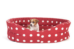 Red spotted pet bed with little puppy Stock Photos