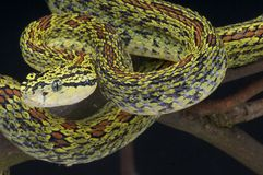 Red spotted pit viper / Protobothrops jerdonii Royalty Free Stock Image