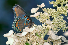 Red-Spotted Purple. Butterfly, Red-Spotted Purple On Flowers, Limenitis arthemis astyanax Stock Photography