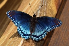 Red-Spotted Purple Admiral Butterfly Blue Stock Images