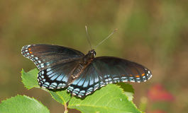Red-spotted Purple Admiral butterfly resting Stock Photo