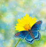 Red-spotted Purple Admiral on yellow Coreopsis flower Royalty Free Stock Images