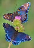 Red-spotted purple butterflies. Two red-spotted purple butterflies are sitting on thistle Royalty Free Stock Photography