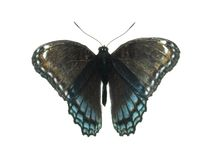 Red spotted purple butterfly. Isolated on white Royalty Free Stock Photo