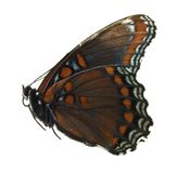 Red spotted purple butterfly. Isolated on white Stock Images