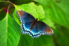 Red Spotted Purple Butterfly Stock Photos