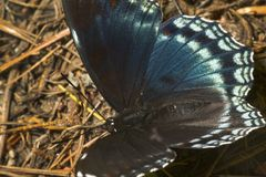 Red-spotted purple butterfly resting with wings open, New Hampshire. Red-spotted purple butterfly, Basilarchia astryamax, resting with wings open on dead pine royalty free stock photography