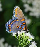 Red- spotted purple Butterfly Stock Photos