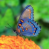 Red- spotted Purple butterfly close- up (Limenitis arthemis) Royalty Free Stock Images