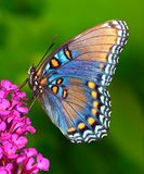 Red- spotted Purple butterfly Stock Image