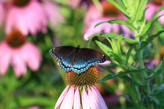 Red-spotted Purple Butterfly Royalty Free Stock Images