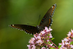 Red-spotted Purple Royalty Free Stock Photo