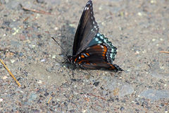 Red-spotted Purple Stock Photos