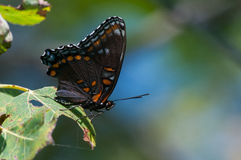 Red-spotted Purple Butterfly. On a leaf stock images