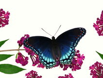 Red- spotted Purple Butterfly (Limenitis arthemis) Royalty Free Stock Photo