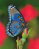 Red- spotted Purple butterfly (Limenitis arthemis) Royalty Free Stock Images