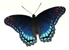 Red- spotted Purple Butterfly (Limenitis arthemis) Stock Photos