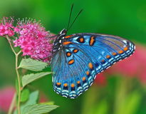 Red- spotted Purple Butterfly (Limenitis arthemis) Stock Images