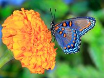 Red- spotted Purple butterfly (Limenitis arthemis) Stock Photo