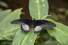 A Red-spotted Purple Butterfly, Limenitis arthemis sits on a fern.  stock image