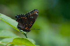 Red-spotted Purple Butterfly. Perched on a leaf stock photography