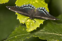 Red-spotted purple butterfly resting with wings open, New Hampshire. Red-spotted purple butterfly, Basilarchia astryamax, resting with wings open on green leaf stock photography