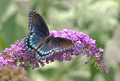 Red-spotted Purple Butterfly. Spread wing view of Red-spotted Purple Butterfly on Butterfly Bush royalty free stock photos