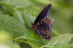 Red Spotted Purple on Leaf  2 Royalty Free Stock Images