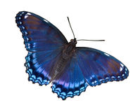 Red-spotted purple on white. A red-spotted purple butterfly is shown with wings open on a white background Stock Photo