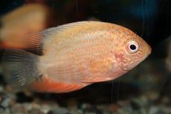 Red Spotted Severum (Cichlasoma severum) aquarium fish Stock Images