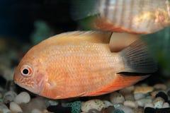 Red Spotted Severum (Cichlasoma severum) aquarium fish Royalty Free Stock Photography