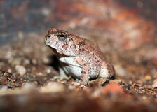 Red-spotted Toad. A red-spotted toad captured at night after a rain storm in the Arizona desert royalty free stock photos