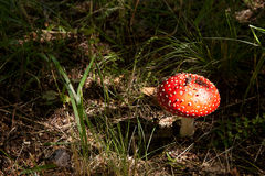 Red spotted toadstool Stock Images