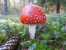 Red spotted toxic mushroom stock photography