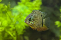 Red Spotted Turquoise Severum Royalty Free Stock Photo