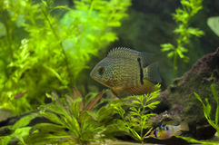 Red Spotted Turquoise Severum Royalty Free Stock Photos