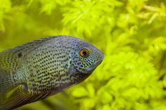 Red Spotted Turquoise Severum Stock Images