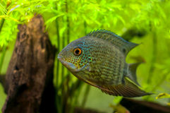 Red Spotted Turquoise Severum Stock Photography