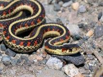 Common Garter Snake - Thamnophis sirtalis Royalty Free Stock Photo