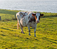Red spotted white cow in a sunny meadow Royalty Free Stock Photo