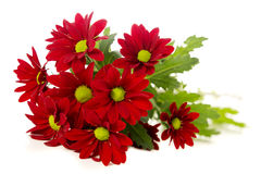 Red spray chrysanthemum Royalty Free Stock Image