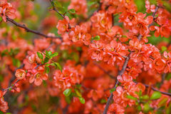 Red spring blossom Stock Photography